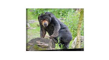 Malaienbär